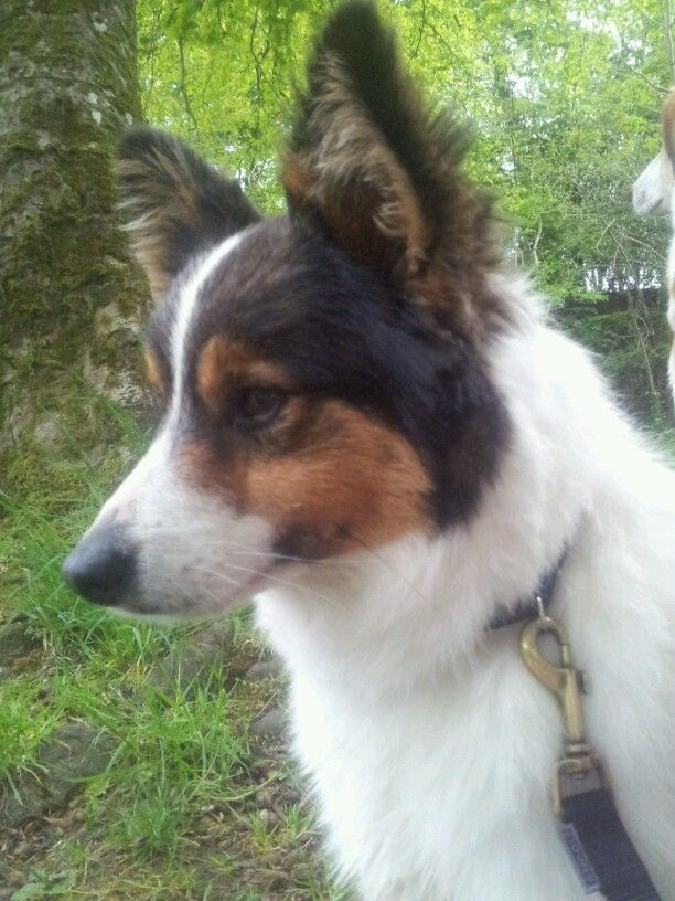 Mitch - Jack Russell Collie mix