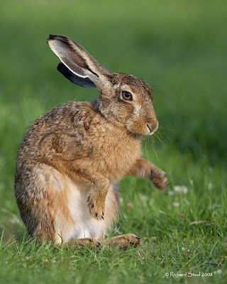 Hare cleaning front paws after rainstorm.