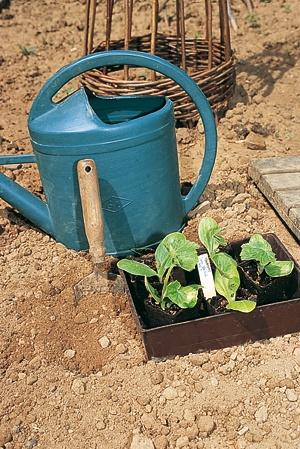 Fiche de culture : la courgette - Pourquoi prévoir deux semis de courgettes