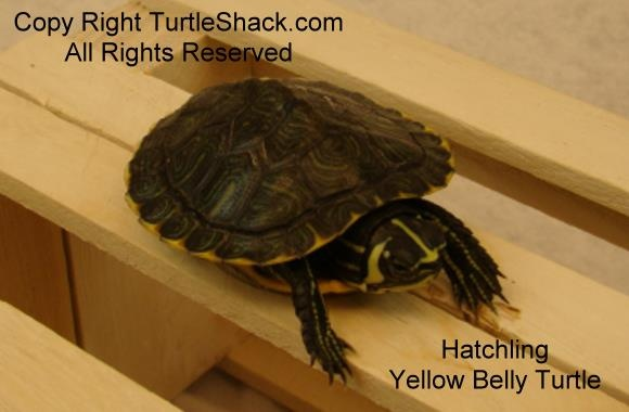 Baby Yellow Belly Turtle