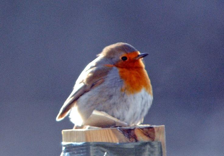fluffy robin red breast