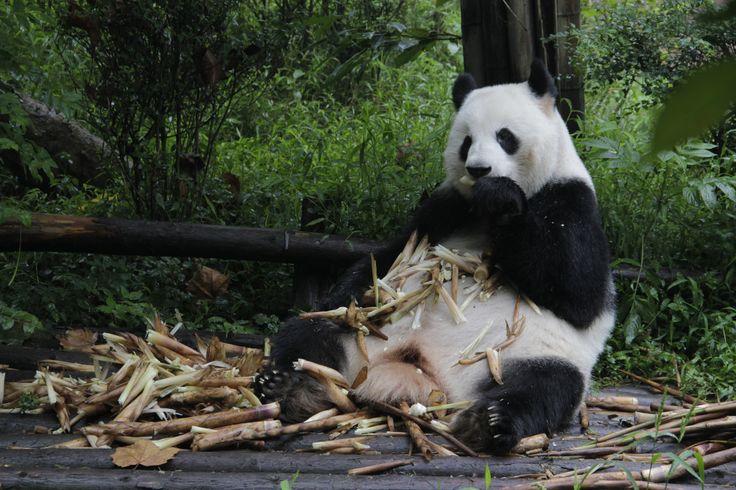 Oso panda en Chengde.