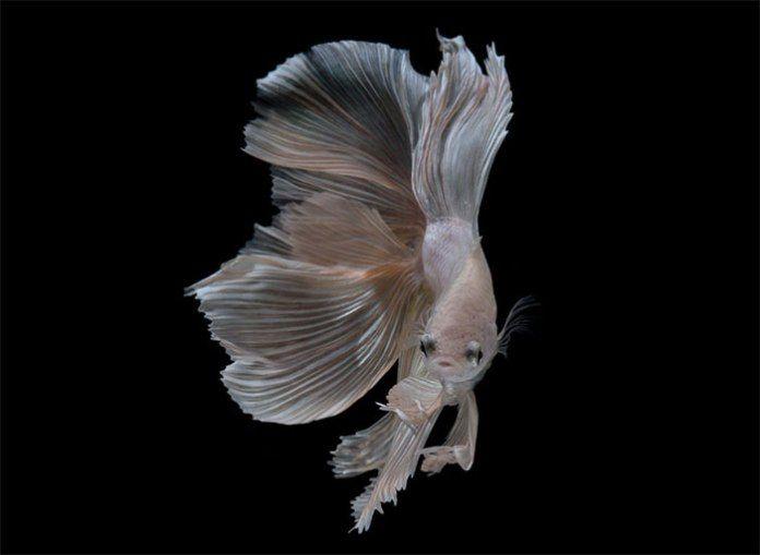 peces-Visarute-Angkatavanich-11