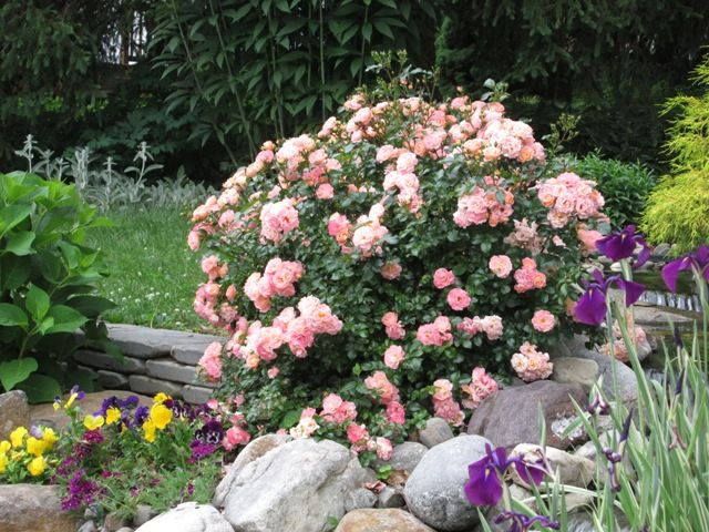 Roses In Garden: 184 Best Drift® Groundcover Roses Images On Pinterest