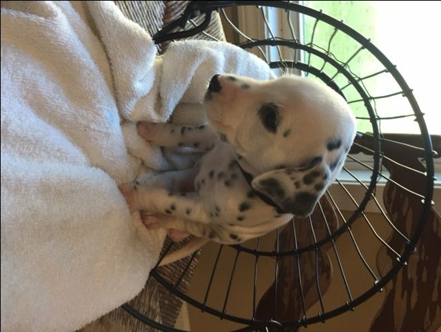 Litter of 9 Dalmatian puppies for sale in HEADLAND, AL. ADN-49470 on PuppyFinder.com Gender: Male. Age: 4 Weeks Old