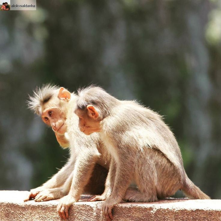 Distraction is the main problem for us all what the Buddha called the monkey mind. We need to tame this monkey mind. -Tenzin Palmo  #TameYourMind #MindControl #MonkeyingAround #BeingMonkeys #Monkey #MonkeyMind #Friends #DistantCousins #Mahabaleshwar #Maharashtra #Untamed #Wild #Animals #Canon700D #Canon
