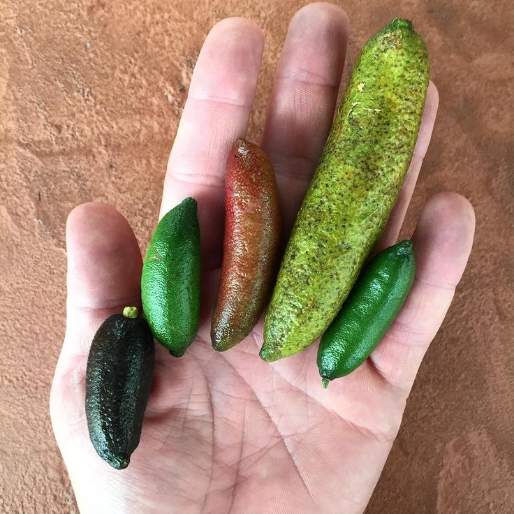 "12.8k Likes, 124 Comments - Rene Redzepi (@reneredzepinoma) on Instagram: ""The finger limes of Australia -  damn we miss you Sydney"""
