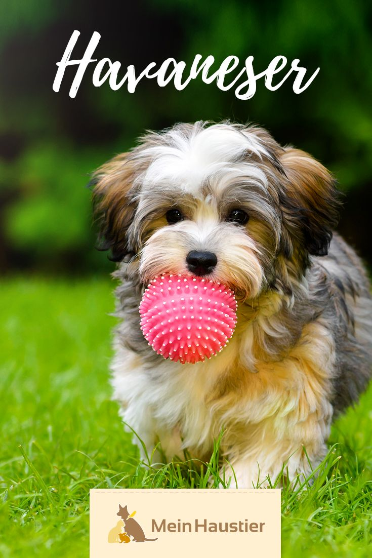 The fluffy coat, the cute look and the friendly nature make the Havanese a great companion dog. Here you can find out what the popular …