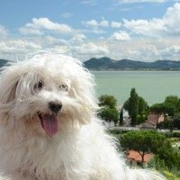 #dogalize Dog Breeds: Bichon Bolognese temperament and personality #dogs #cats #pets