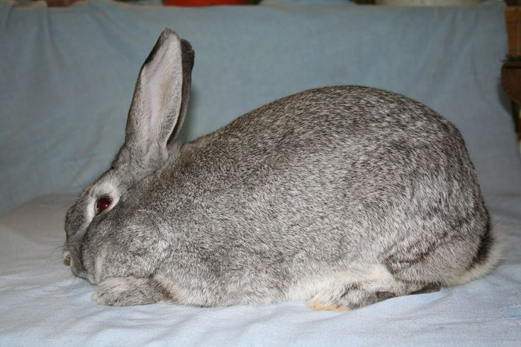 Evaluating the Giant Chinchilla Rabbit - Giant Chinchilla ...