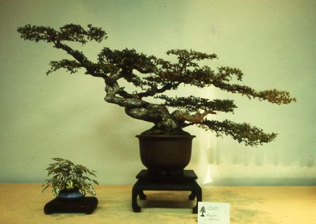 A very old yamadori (collected) specimen of Bucida spinosa (dwarf black olive)