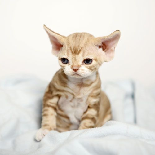 Curly Haired Cat Breeds - Here you will find a list of cat breeds with a curly coat. #CurlyHairedCatBreeds #DevonRex