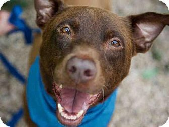CHOCO - URGENT SENIOR ALERT - Austin Animal Center in Austin, TX - ADOPT OR FOSTER - Senior Neutered Male Labrador Retriever/Pit Bull Terrier Mix