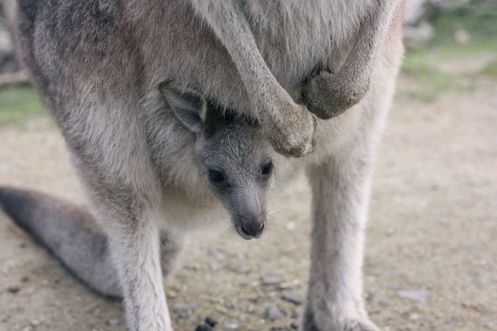 Philip Island Wildlife Park. Our favourite place to go for some kangaroo and wallaby cuddling. #kangaroo #wallaby #cuteanimals Klaus and Fritz | http://klausandfritz.com/kangaroo-and-wallaby-cuteness-at-philip-island-wildlife-park/