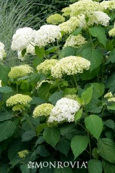 Annabelle Hydrangea (Hydrangea arborescens 'Annabelle'):  5' h & w, partial sun, huge white flowers late spring to fall