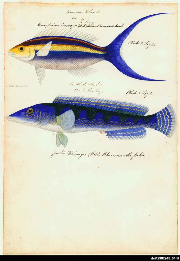 'Barrow Island' one of the plates from 'Watercolours of fish from Australian waters' by James Barker Emery. Emery entered the Royal Navy in 1808 and had a colourful career that included two circumnavigations of the world surveying on the coast of east Africa - including work on the suppression of slavery - and some months as an unsanctioned 'governor' in Mombasa. He joined HMS Beagle in 1837, under Captain Wickham for the survey of the Australian coast.