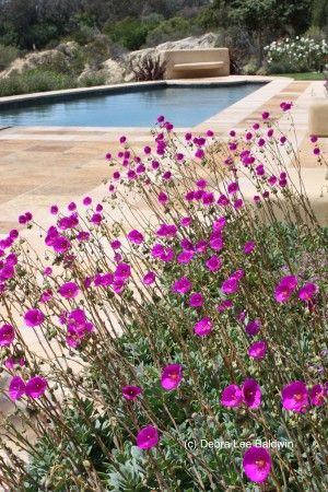 Calandrinia flowers resemble satiny purple poppies and are held aloft on slender stems. I think they look best when grown in mass.