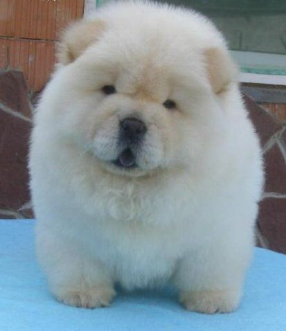 Miniature Chow Chow and it's white!!