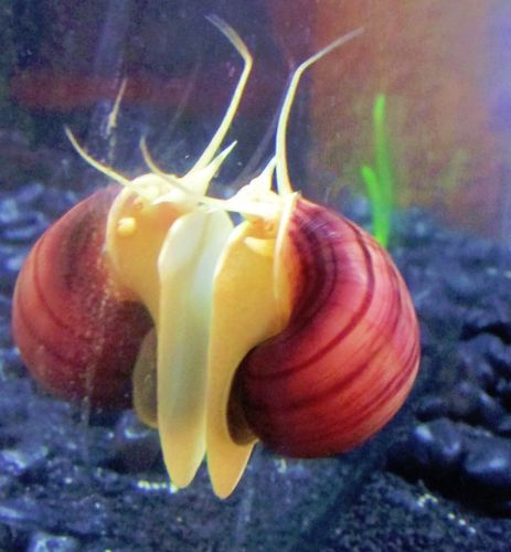 WOW! 4 LIVE PURPLE ZEBRA SNAILS ~ SUPER CLEANUP CREW ~ ALGAE CONTROL