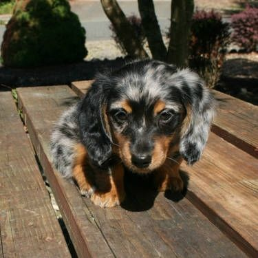 Mini Dapple Dachshund for Sale | AKC Mini Longhair Dapple Dachshund for Sale in Seattle, Washington ...