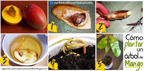 C mo plantar un rbol de mango desde la semilla urban for Como obtiene su alimento un arbol