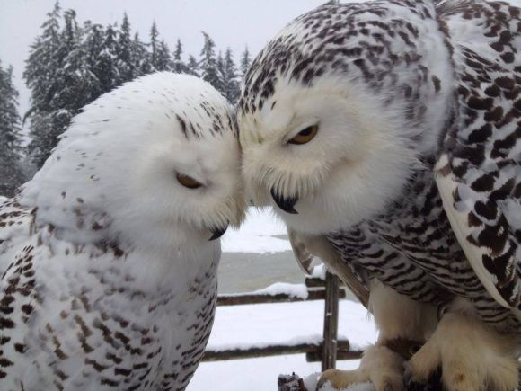 Snowy Owl Love In The Snow   Cutest Paw