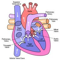 Enjoy these fun heart facts for kids and learn some interesting  new facts and information about how the amazing human  heart works.