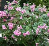 Growing and Caring for Rugosa Roses: Colors Hip, Rugosa Care, Rose Gardens, Rugosa Rose, Gardeningpl Care, Gardens Pl Care, Rose Hip, Plants Care, Rosa Rugosa