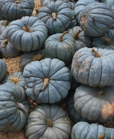 Black Pumpkins! I've never seen one of these before...