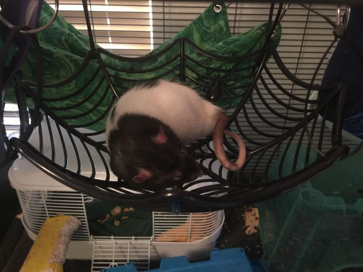 Help found this in my cage what type of spider is it?? #aww #cute #rat #cuterats #ratsofpinterest #cuddle #fluffy #animals #pets #bestfriend #ittssofluffy #boopthesnoot