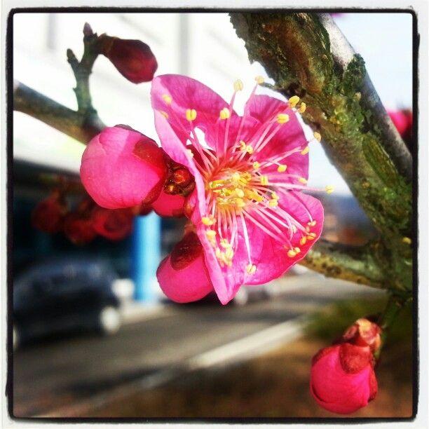 홍매화 꽃이 자랑을 품어내고 있다