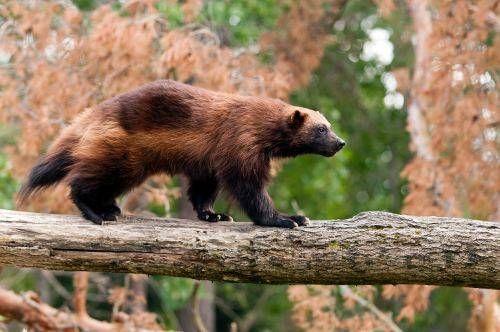 Wolverine Animal Adaptations