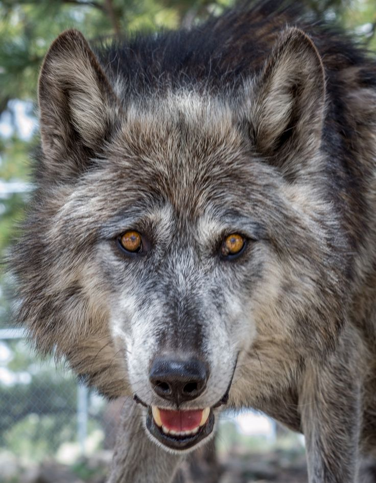 Photo Wolf at Rocky Mountain Wildlife Foundation by Randy Poll on 500px
