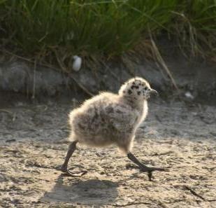 a baby gull