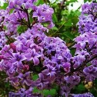 Common Purple Lilac bushes | Buy online at Nature Hills