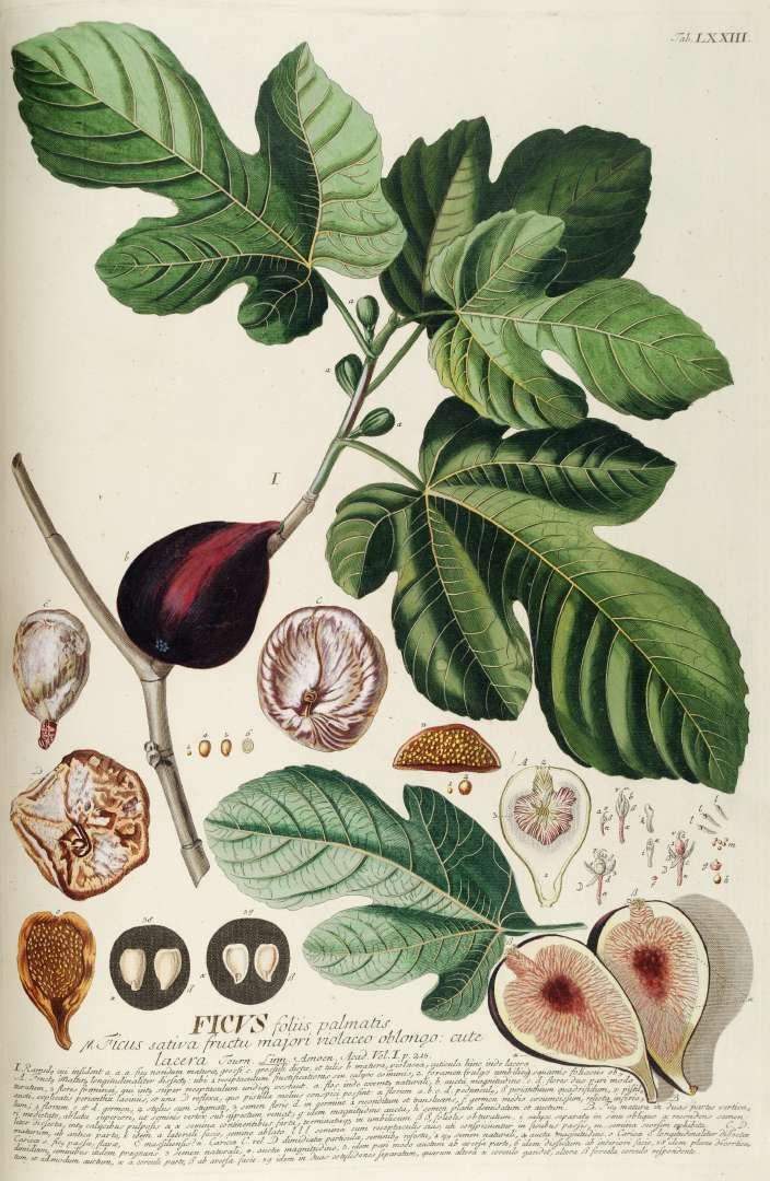 """Ficus carica"", higuera, de la familia de las moráceas. https://es.wikipedia.org/wiki/Ficus_carica #herbario"