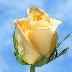 250 Skyline Yellow Roses   Fresh Flowers Wholesale Express Delivery   Perfect for Birthdays, Anniversary or any occasion. *** Visit the image link more details.