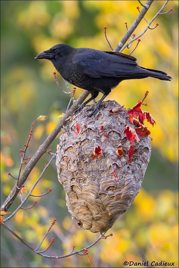Photograph American Crow on Hornet's Nest by Daniel Cadieux on 500px