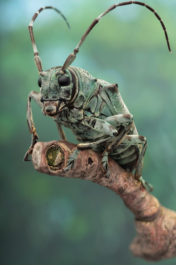 """Another specimen mounted and photographed by Andre de Kessel - """"Cerambycid beetle (ca 25mm long, Coleoptera, Lamiinae, Cerambycidae; ID: ...) from the dense rain forest of Yangambi (DR Congo, November 2013, ethanol preserved)."""""""