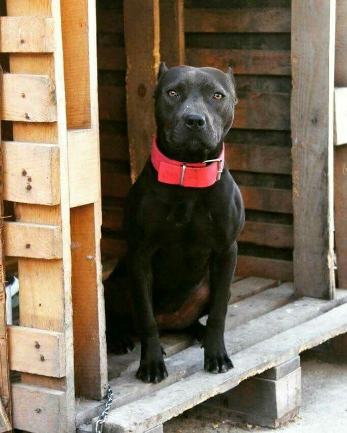 Black pitbull adba