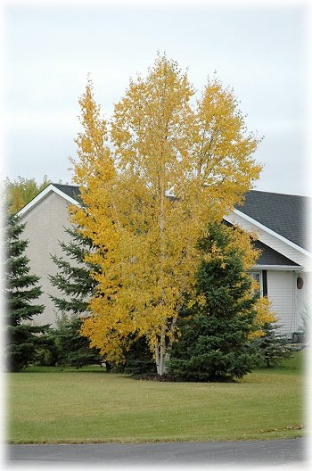 Landscaping With Paper Birch Trees : Clump paper birch trees garden ideas