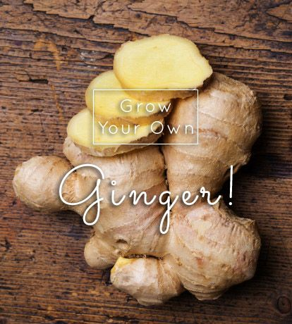Do you know how to grow ginger? It's an easy indoor plant with good rewards and huge medicinal benefits.