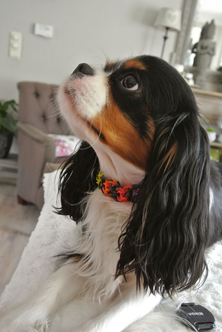 Miss Milla at Home (Tricolor Cavalier King Charles Spaniel)