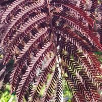 Albizia Julibrissin Summer Chocolate or Purple Silk Tree is a highly ornamental small tree with striking fern-like foliage and pinky cream blooms in summer