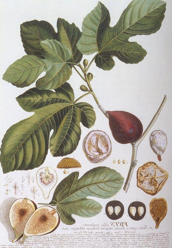 Fig Leaves: