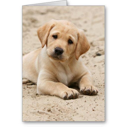 Gelber Labrador Retriever Welpe Puppy im Sand
