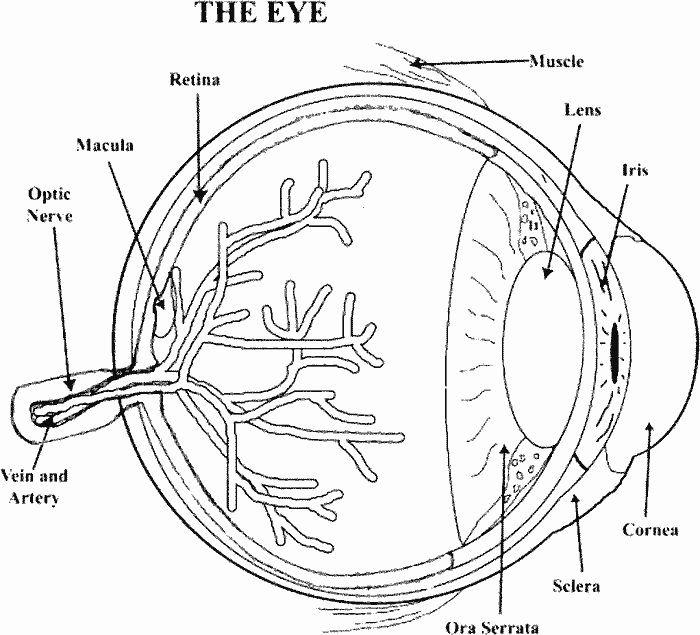 Best Anatomy Coloring Book Luxury 53 Best Images About Anatomy Coloring Pages On Pinterest Anatomy Coloring Book Coloring Books Diagram Of The Eye