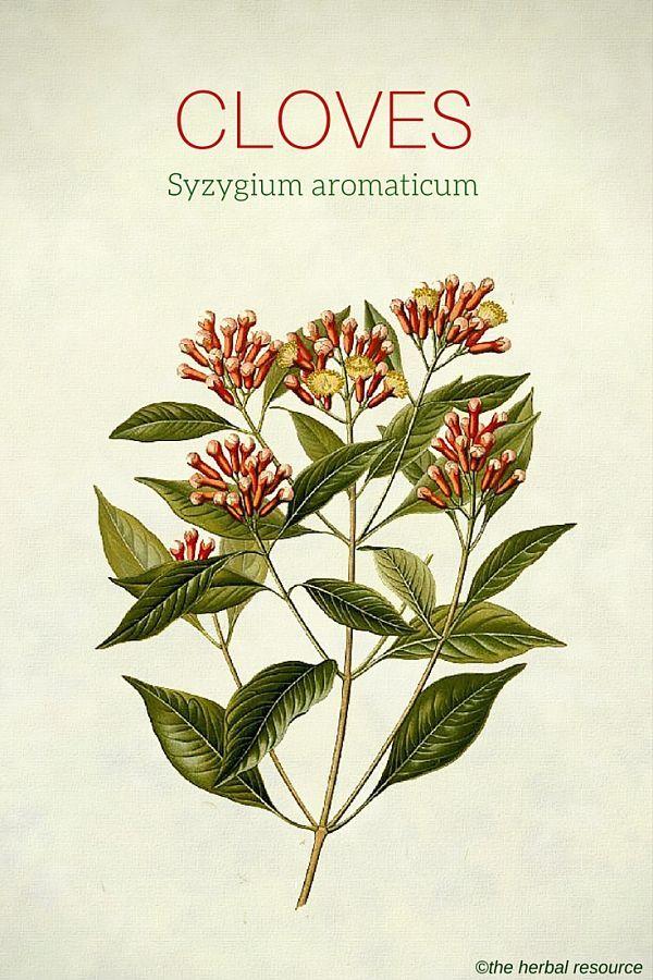 Cloves - Medicinal Herb