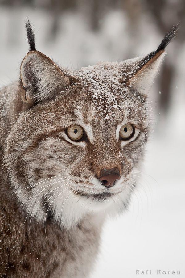 Snow Lynx in Lapland