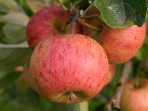 Apfelsorten gibt es viele, aber die wenigsten sind für Hobbygärtner wirklich empfehlenswert. Wir stellen Ihnen 14 Apfelsorten vor, mit denen Sie im Hausgarten nichts falsch machen können.
